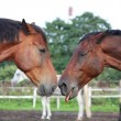 Two funny brown horses yawning — Stock Photo