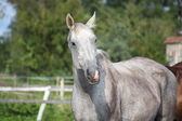 Beautiful gray horse portrait in summer — Stock Photo