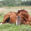 Stock Photo: Happy horse rolling in grass