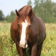 Brown horse portrait at the field — Stock Photo