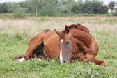 Happy horse rolling in the grass — Stock Photo