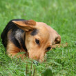 Cute small brown dog resting in the grass — Stock Photo