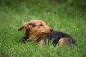 Sevimli küçük kahverengi köpek çimenlerde dinlenme — Stok fotoğraf
