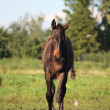 Stock Photo: Portrait of brown foal walking at field