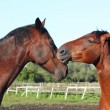 Stock Photo: Two brown horses lovingly nuzzling each other