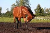 Horse scratching itself — Stockfoto