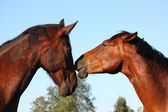 Two brown horses lovingly nuzzling each other — Stock Photo