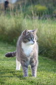 Cute adult gray cat standing in the grass — Stock Photo