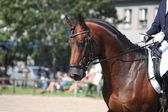 Bay horse portrait during dressage show — Stock Photo