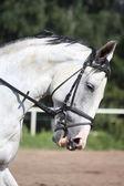 Portrait de cheval beau sport blanc — Photo