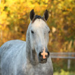 Stock Photo: Portrait of akhal-teke horse in autumn