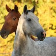 Stock Photo: Portrait of gray akhal-teke in autumn