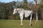 White horse at the pasture — Stock Photo