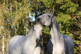 Two white horses together portrait — Stock Photo