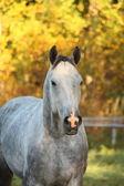 Portrait of akhal-teke horse in autumn — Stock Photo