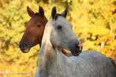 Portrait of gray akhal-teke in autumn — Stock Photo