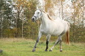 White arabian horse trotting in the forest — Stock Photo