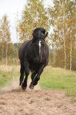 Powerful galloping percheron in autumn — Stock Photo