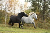 Black and white horse galloping — Stock Photo