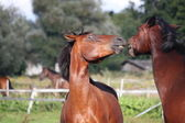 Two horses playing with each other — Stock Photo