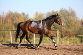 Beautiful bay horse trotting in autumn — Stock Photo