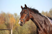 Bay horse portrait with bridle  — Stock Photo