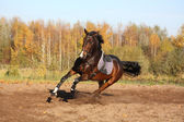 Beautiful bay horse galloping in autumn — Stock Photo