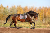 Beautiful bay horse galloping in autumn — Stock fotografie