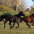 Two wild horses running at the field — Stock Photo #42673799