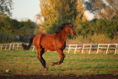Beautiful brown pony galloping at the grazing — Stock Photo