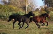 Deux chevaux sauvages en cours d'exécution sur le terrain在现场运行的两个野马 — Photo