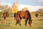 Bay horse eating at the pasture — Stok fotoğraf
