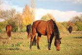 Bay horse eating at the pasture — Stockfoto