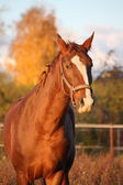Beautiful chestnut horse portrait in autumn — Stock Photo