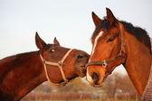 一緒に遊ぶ 2 つの茶色の馬 — ストック写真