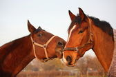 Two brown horses playing together — Stock Photo
