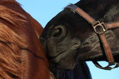 Black horse nuzzling brown horse — Stock Photo
