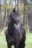 Portrait of black sport horse with bridle — Stock Photo