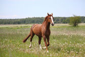 Chestnut horse trotting at the field — Stock Photo
