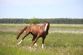 Chestnut horse galloping at the field — Stock Photo