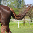Brown horse swinging its tail — Stock Photo #51186891