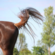 Brown horse swinging its tail — Stock Photo #51186913