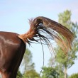 Brown horse swinging its tail — Stock Photo #51186925