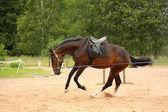 коричневый игривые лошади, скачущей на линии — Стоковое фото