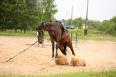 Brown playful latvian breed horse bucking and trying to get rid  — Stock Photo