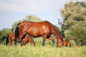 Bay horse eating grass at the grazing — Photo