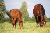 Chestnut foal and its eating grass at the pasture — Stock Photo