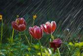 Tulips in the Rain DSC_0054_770 — Stockfoto