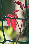 Branch with red autumn leaves behind a fence. DSC_0027 — Stock Photo