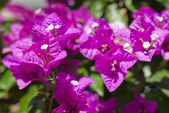 Nice purple flowers — Stock Photo